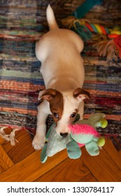 A small puppy Jack Russell Terrier with brown speck on muzzle sits