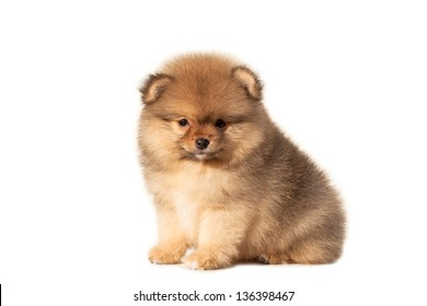 Small puppy on a white background
