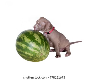 A small puppy (one and a half months old) of the American pit bull terrier licks watermelon. Isolated on white background
