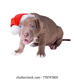 A small puppy (one and a half months old) of American pit bull terrier  in a Santa Claus hat. Isolated on white background