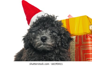 The small puppy of a poodle with New Year's gifts
