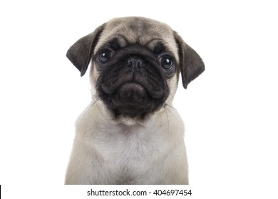 Small puppy pug isolated on a white background