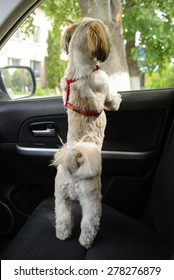 Small puppy shih tzu wait for in car and looking out the window.