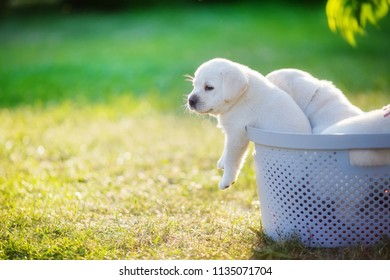 A small puppy tries to get out of the basket in which his brothers and sisters sit