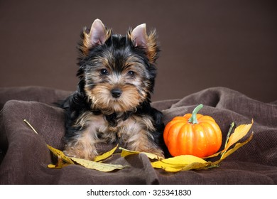 Small puppy Yorkshire Terrier with yellow leaves and pumpkin on a brown background