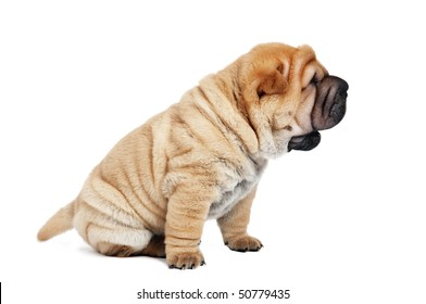 small purebred beige sharpei puppy isolated on white