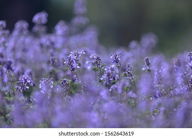 small purple delicate flowers on thin stems with green leaves on a blurred foreground (Central focus)