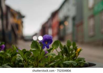 Small purple flower with a street of Roros as background