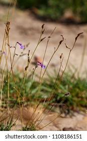 Small Purple Flowers growing in Van Stadens Wildflower Reserve