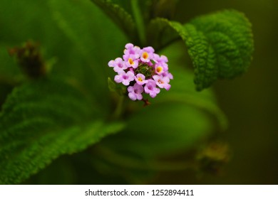 Small purple flowers with leaves in defocused background. Ilhabela, Brazil