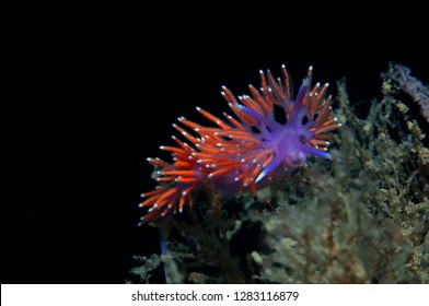 A small purple invertebrate slides over the algae in search of food