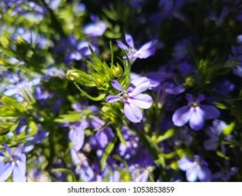 small purple Lobelia flowers.