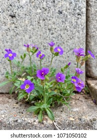 small purple rockcress on a wall