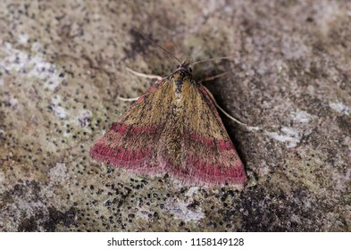 Small Purple-barred moth ( Phytometra viridaria ). Sitting on a rock.