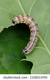 Small Quaker ( Orthosia cruda ) moth caterpillar. Eating a leaf.