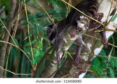 A small raccoon hanging head down in a tree with its paws over the sides of the branch in Manuel Antonio National Park, Costa Rica.