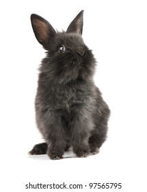 Small racy dwarf black bunny isolated on white background. studio photo.