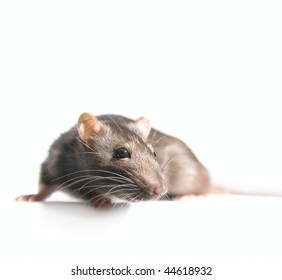 Small Rat isolated on white