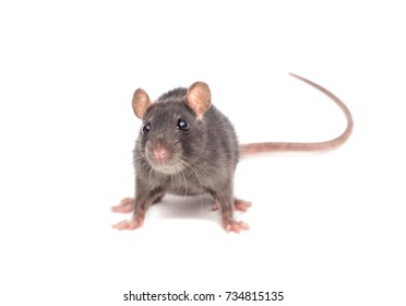 small rat on white background