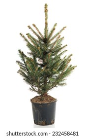 Small, real undecorated bare Christmas tree in a pot.