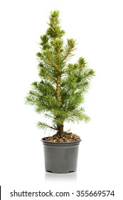 Small, real undecorated bare Christmas tree in a pot isolated on white background
