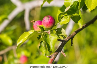 small red apples growing on the tree