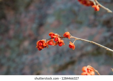 Small red berries of climbing bittersweet in winter.