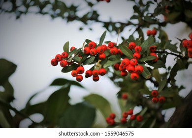 small red berries on a bush outside in the fall. Winter
