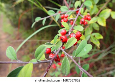Tree With Small Red Berries Images Stock Photos Vectors
