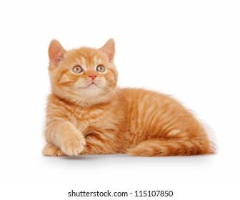 small red british kitten on white background