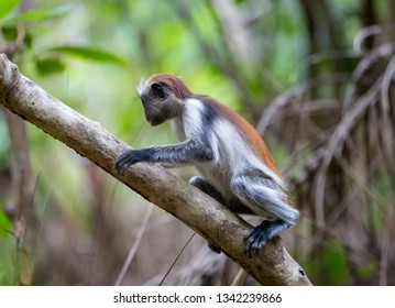 Small Red Colobus monkey on tree in forest, Zanzibar