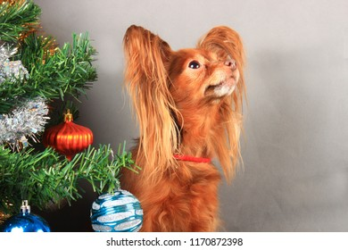 A small red dog of the breed that the terrier sits near the New Year tree