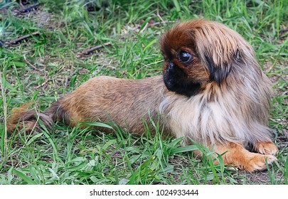 A small, red dog of Pekingese breed, with a beautiful haircut lies on the green grass.  Warm, summer day