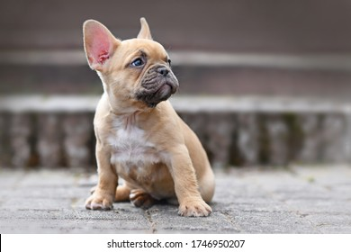 Small red fawn colored French Bulldog dog puppy with 7 weeks looking up sideways while sitting in front of stairs