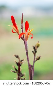 Small red flower distinctive beautiful thin and long picturesque 300dpi Original image plant