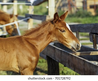 small red foal with a white spot on his head stands in the paddock near the wooden fence