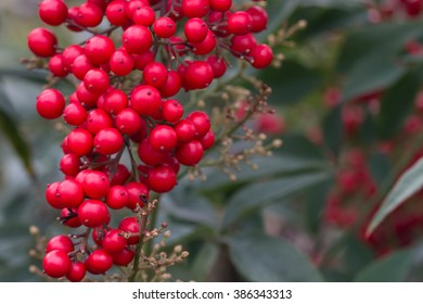 Small red fruit