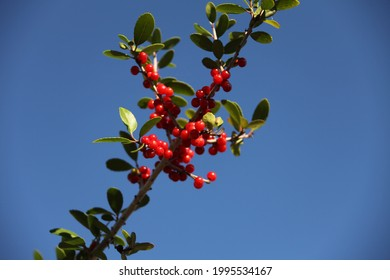The small red fruits of Ilex vomitoria commonly known as yaupon or yaupon holly