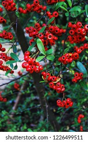 Small red fruits on branch.  Abstract natural background. Fruits of fire-thorn.