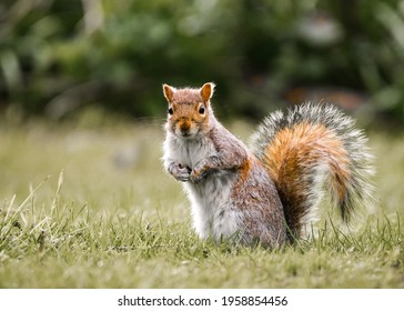 Small red and grey English wild squirrel sat isolated in nature countryside looking at camera. Furry bushy tail cute funny little mammal and vibrant colours outdoor small animal.