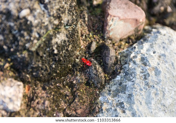 Small red insect on a rock in forest.