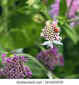 a small, red ladybird, (Coccinella septempunctata) with black spots sits on the edge of a white, straight-opening flower, the background is soft green, at the bottom another flowering in purple,