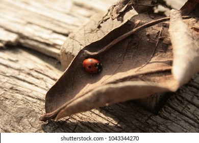 A small red ladybug (ladybird, Coccinellidae, Coccinella magnifica) is hiding in a dry brown leaf on the tree trunk in autumn.