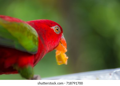 Small red parrot