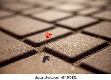 Small red poppy flower growing on tile, asphalt, road