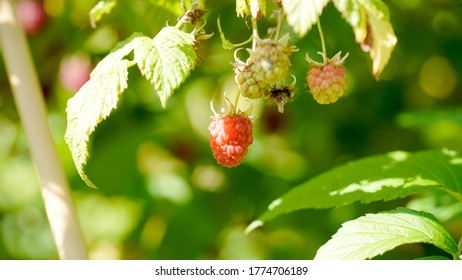 Small red raspberry fruit in a garden on a sunny summer day in Fulda, Germany.