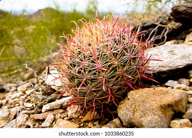 Small Red Spined Barrel Cactus on the Side of a Rocky Hill in the San Tan Mountains of Arizona