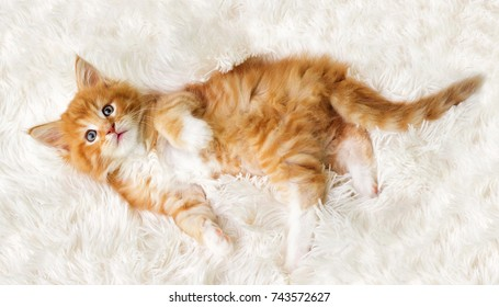 small red striped kitty Maine Coon looks