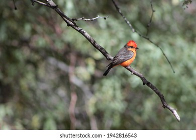 Small red Vermilion Flycatcher bird perched on branch in tree