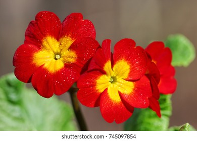 Small red and yellow Primula or Primrose flowers